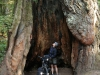 x-redwoods